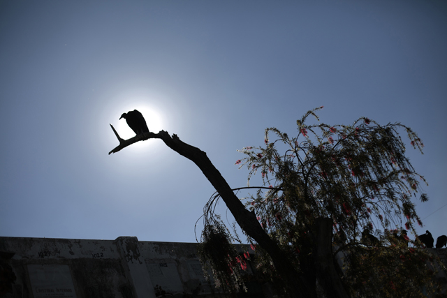 A vulture sits on a tree at the General Cemetery General in Guatemala City