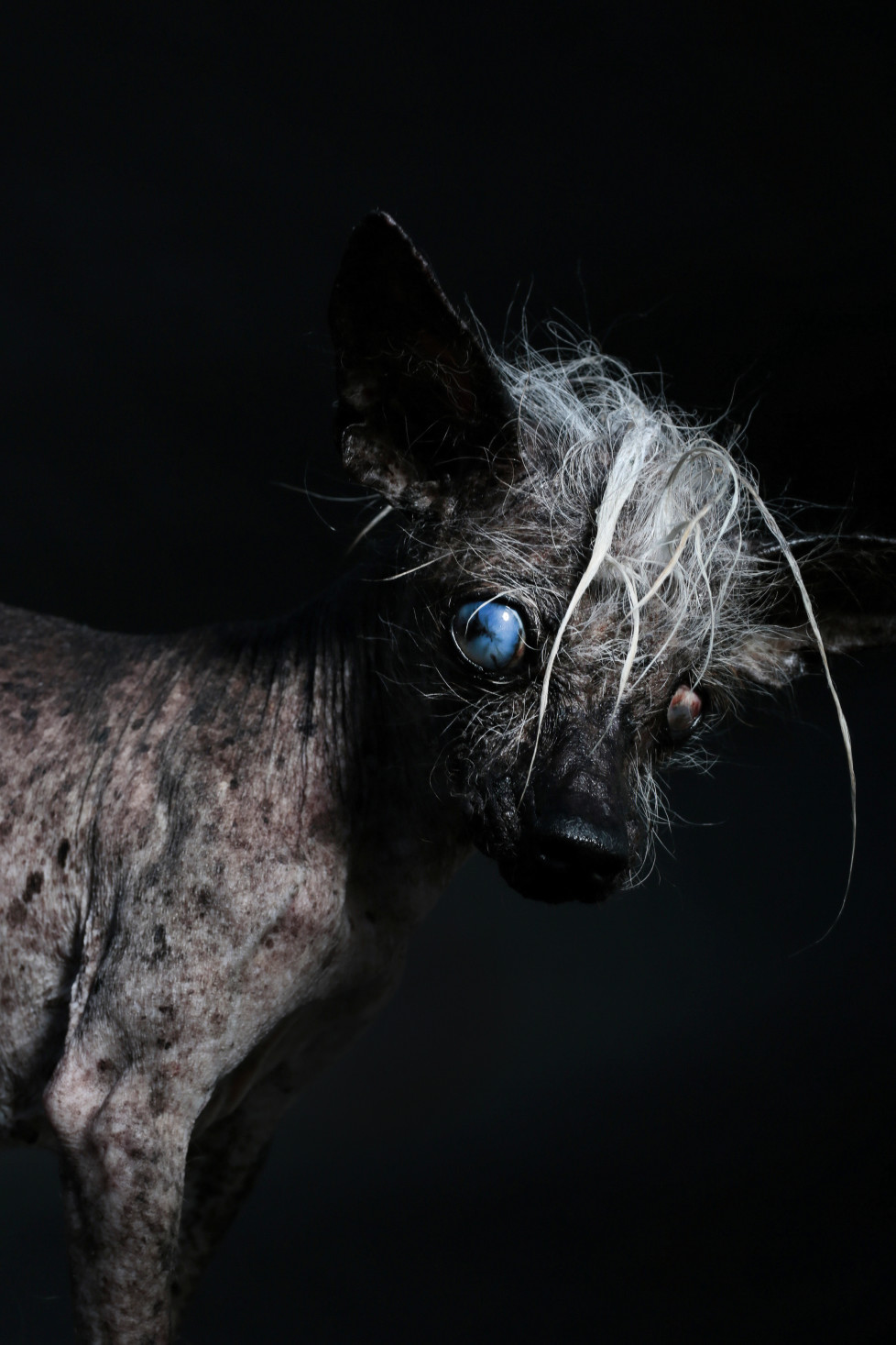 Sweepee RamboÕs biggest fan is her dad who is always telling people Sweepee is the prettiest little blue eyed Chinese Crested Chihuahua he has ever known. She drives to work everyday with her dad. At 15 years old, Sweepee Rambo is blind in both eyes and wears doggie diapers.
