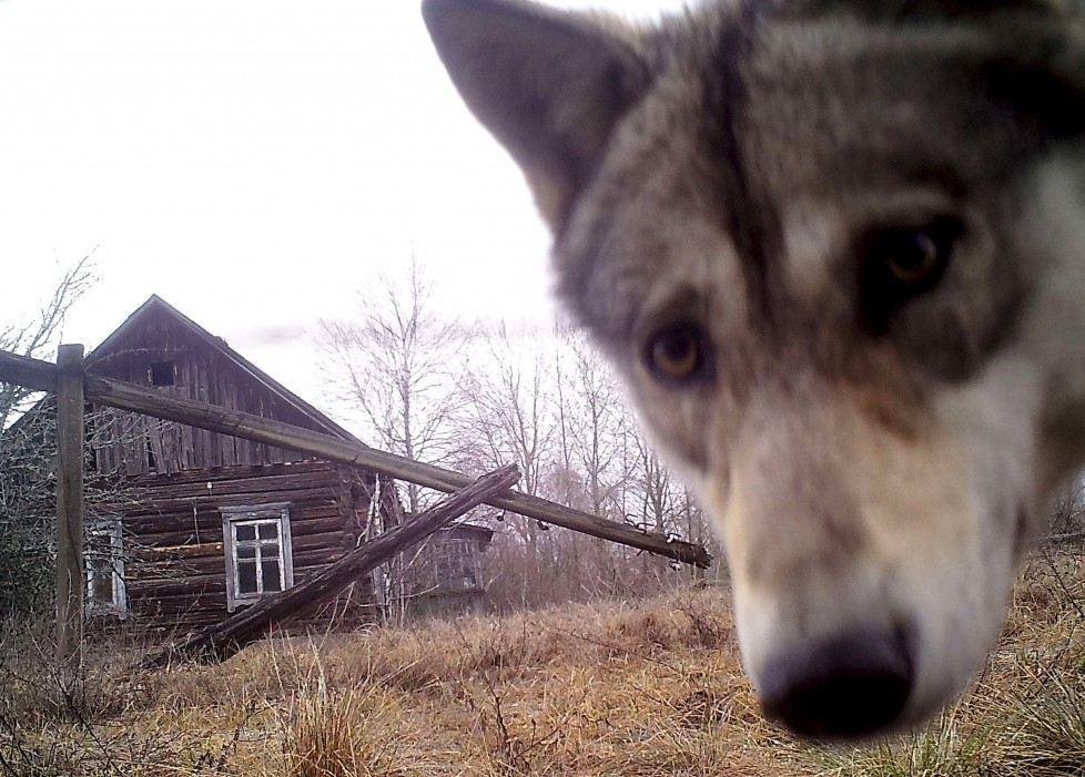 """A wolf looks into the camera at the 30 km (19 miles) exclusion zone around the Chernobyl nuclear reactor in the abandoned village of Orevichi, Belarus, March 2, 2016. What happens to the environment when humans disappear? Thirty years after the Chernobyl nuclear disaster, booming populations of wolf, elk and other wildlife in the vast contaminated zone in Belarus and Ukraine provide a clue. On April 26, 1986, a botched test at the nuclear plant in Ukraine, then a Soviet republic, sent clouds of smouldering radioactive material across large swathes of Europe. Over 100,000 people had to abandon the area permanently, leaving native animals the sole occupants of a cross-border """"exclusion zone"""" roughly the size of Luxembourg. Photo taken with trail camera. REUTERS/Vasily Fedosenko SEARCH """"WILD CHERNOBYL"""" FOR THIS STORY. SEARCH """"THE WIDER IMAGE"""" FOR ALL STORIES TPX IMAGES OF THE DAY"""