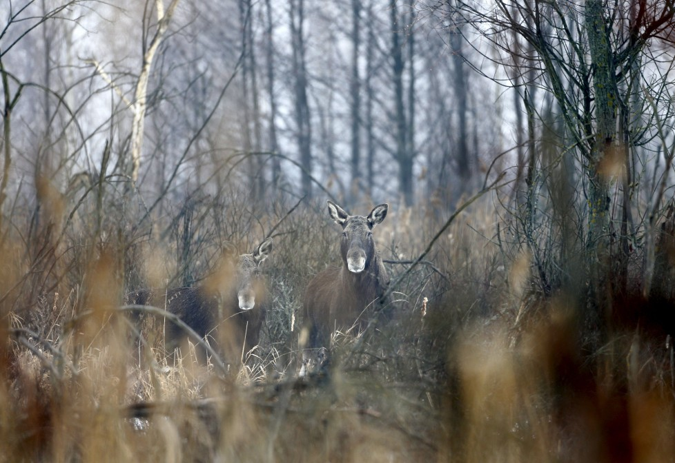"""Elks are seen in the 30 km (19 miles) exclusion zone around the Chernobyl nuclear reactor near the abandoned village of Dronki, Belarus, January 28, 2016. What happens to the environment when humans disappear? Thirty years after the Chernobyl nuclear disaster, booming populations of wolf, elk and other wildlife in the vast contaminated zone in Belarus and Ukraine provide a clue. On April 26, 1986, a botched test at the nuclear plant in Ukraine, then a Soviet republic, sent clouds of smouldering radioactive material across large swathes of Europe. Over 100,000 people had to abandon the area permanently, leaving native animals the sole occupants of a cross-border """"exclusion zone"""" roughly the size of Luxembourg. REUTERS/Vasily Fedosenko SEARCH """"WILD CHERNOBYL"""" FOR THIS STORY. SEARCH """"THE WIDER IMAGE"""" FOR ALL STORIES"""