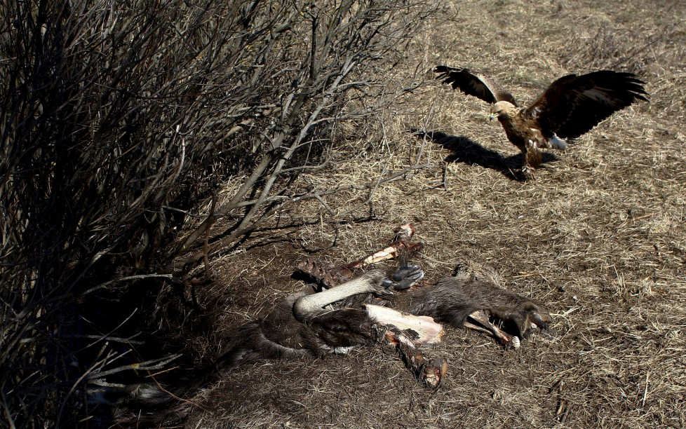 """A golden eagle approaches the remains of an elk in the 30 km (19 miles) exclusion zone around the Chernobyl nuclear reactor near the abandoned village of Babchin, Belarus, March 16, 2016. What happens to the environment when humans disappear? Thirty years after the Chernobyl nuclear disaster, booming populations of wolf, elk and other wildlife in the vast contaminated zone in Belarus and Ukraine provide a clue. On April 26, 1986, a botched test at the nuclear plant in Ukraine, then a Soviet republic, sent clouds of smouldering radioactive material across large swathes of Europe. Over 100,000 people had to abandon the area permanently, leaving native animals the sole occupants of a cross-border """"exclusion zone"""" roughly the size of Luxembourg. REUTERS/Vasily Fedosenko SEARCH """"WILD CHERNOBYL"""" FOR THIS STORY. SEARCH """"THE WIDER IMAGE"""" FOR ALL STORIES"""