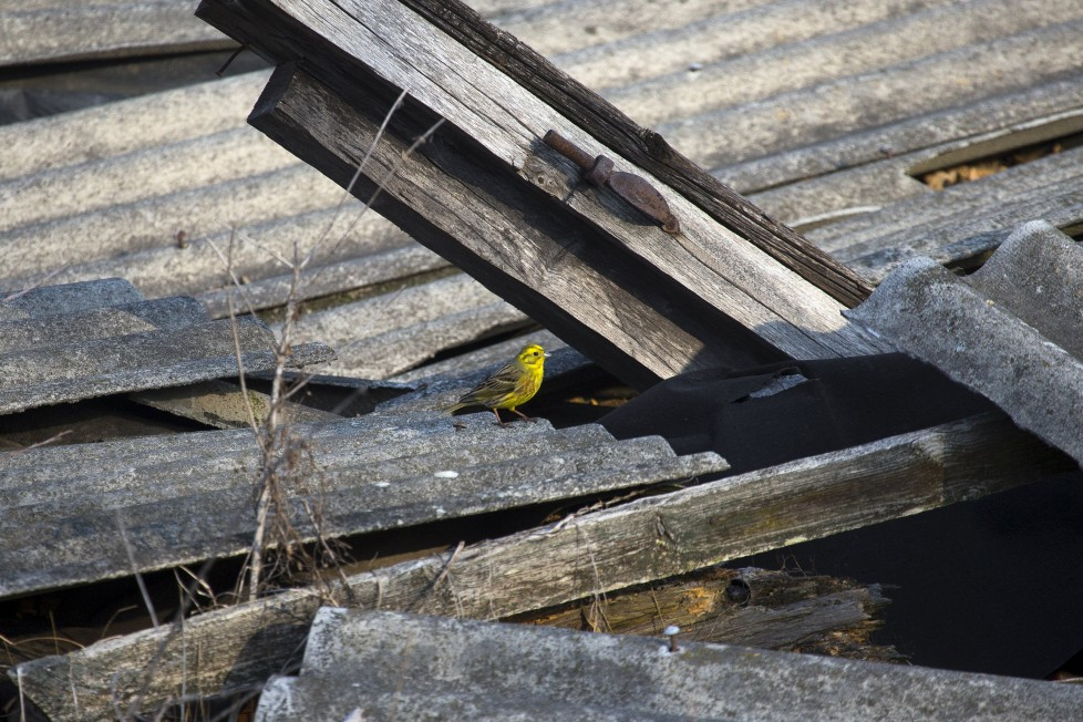 """A yellowhammer is seen on the remains of a house at the 30 km (19 miles) exclusion zone around the Chernobyl nuclear reactor in the abandoned village of Orevichi, Belarus, March 12, 2016. What happens to the environment when humans disappear? Thirty years after the Chernobyl nuclear disaster, booming populations of wolf, elk and other wildlife in the vast contaminated zone in Belarus and Ukraine provide a clue. On April 26, 1986, a botched test at the nuclear plant in Ukraine, then a Soviet republic, sent clouds of smouldering radioactive material across large swathes of Europe. Over 100,000 people had to abandon the area permanently, leaving native animals the sole occupants of a cross-border """"exclusion zone"""" roughly the size of Luxembourg. REUTERS/Vasily Fedosenko SEARCH """"WILD CHERNOBYL"""" FOR THIS STORY. SEARCH """"THE WIDER IMAGE"""" FOR ALL STORIES"""