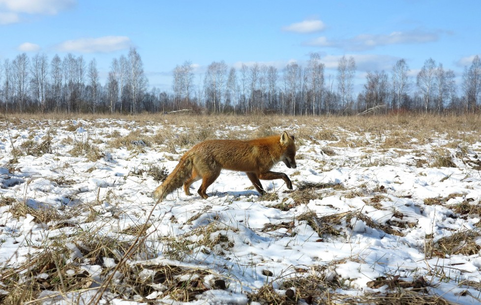 """A fox walks through the 30 km (19 miles) exclusion zone around the Chernobyl nuclear reactor near the abandoned village of Babchin, Belarus, March 5, 2016. What happens to the environment when humans disappear? Thirty years after the Chernobyl nuclear disaster, booming populations of wolf, elk and other wildlife in the vast contaminated zone in Belarus and Ukraine provide a clue. On April 26, 1986, a botched test at the nuclear plant in Ukraine, then a Soviet republic, sent clouds of smouldering radioactive material across large swathes of Europe. Over 100,000 people had to abandon the area permanently, leaving native animals the sole occupants of a cross-border """"exclusion zone"""" roughly the size of Luxembourg. REUTERS/Vasily Fedosenko SEARCH """"WILD CHERNOBYL"""" FOR THIS STORY. SEARCH """"THE WIDER IMAGE"""" FOR ALL STORIES"""