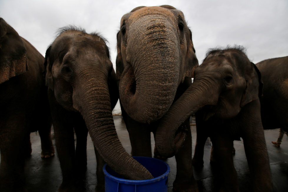 Performing elephants drink water after appearing in their final show for the Ringling Bros and Barnum & Bailey Circus in Wilkes-Barre, Pennsylvania, U.S., May 1, 2016. REUTERS/Andrew Kelly - RTX2CDF1