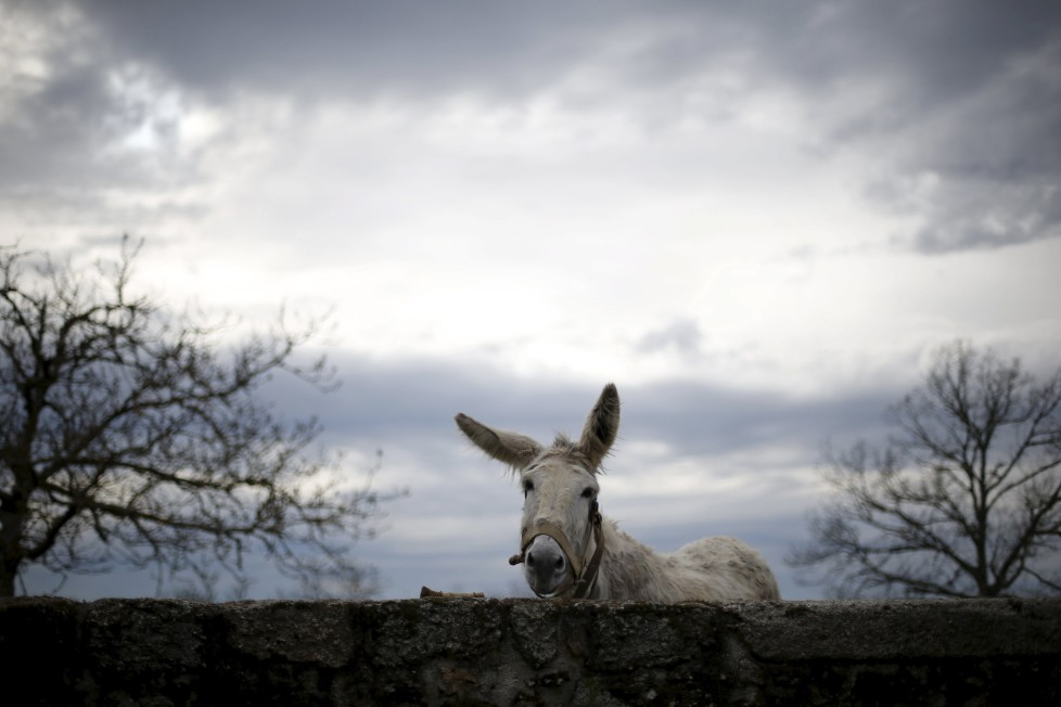 "A donkey stays inside a pen in Povoa de Agracoes near Chaves, Portugal, April 18, 2016. In the villages of Agracoes and Povoa de Agracoe, the steady drip-drip of emigration has brought down population numbers from more than 50 residents to fewer than a dozen each. These remaining villagers share the same glum acceptance that, after they have gone, their villages will die out too. It is the same desolate picture in scores of other backwater settlements in Portugal's interior, north to south. REUTERS/Rafael Marchante SEARCH ""ABANDONED PORTUGAL"" FOR THIS STORY. SEARCH ""THE WIDER IMAGE"" FOR ALL STORIES"