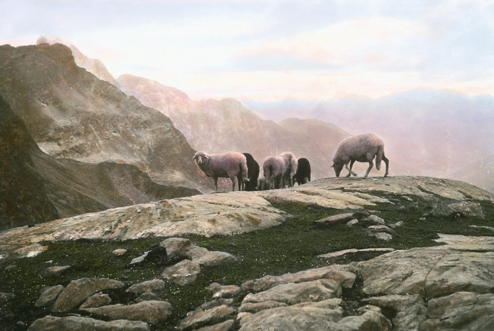 AUSTRIA - CIRCA 1910: Sheep at mountain pastures. Zillertal. Tyrol. Austria. Hand-colored lantern slide around 1910. (Photo by Imagno/Getty Images)