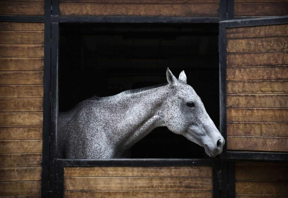 """TIANJIN, CHINA - JULY 17: A polo horse is seen in the stable area at the Tianjin Goldin Metropolitan Polo Club on July 17, 2016 in Tianjin, China. China's rising affluence has nurtured growing interest in polo and other past-times regarded as noble or prestigious by the country's elite. Clubs and international-size polo fields have been built in various cities including Beijing and Shanghai, and on the outskirts of Tianjin, where membership at the exclusive Goldin Metropolitan, China's largest polo club, is by invitation-only and fees can be significant for polo team owners. Increasingly, wealthy Chinese parents are choosing polo and other equestrian activities for their children as a way to bolster their credentials for admission to top-tier universities in the United States and the United Kingdom. While the so-called """"sport of kings"""" became a mainstay in Hong Kong during the era of British rule, polo is a relatively new sport to mainland China. Professional polo players are frequently flown in from countries such as New Zealand and Argentina in order to field competitive matches. Many of the polo clubs in China are tied to luxury real estate developments. (Photo by Kevin Frayer/Getty Images)"""