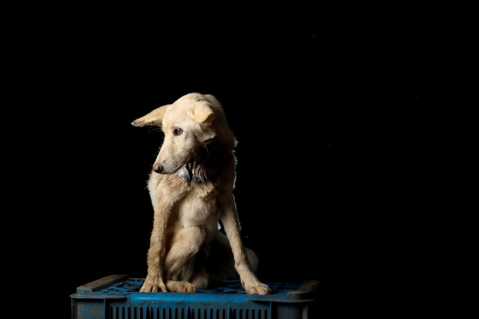 """Gusaniao is pictured at the Famproa dogs shelter in Los Teques, Venezuela August 18, 2016. Gusaniao (wormy) was left almost dead in a box outside the shelter a week before being photographed. """"He was full of worms, literally, eating him alive, but after a week of medication and care, he finally started to eat well and is recovering,"""" said Maria Silva who takes care of dogs at the shelter. REUTERS/Carlos Garcia Rawlins SEARCH """"DOG LIFE"""" FOR THIS STORY. SEARCH """"WIDER IMAGE"""" FOR ALL STORIES. - RTX2OI4Y"""