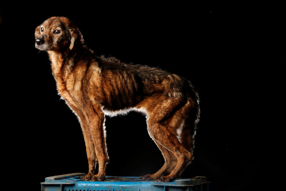 """Pichurra is pictured at the Famproa dogs shelter in Los Teques, Venezuela August 18, 2016. Pichurra is very old and has been at the shelter for a long time. """"She is extremely calm, never fights with anyone, nor does she bark. In fact, at mealtimes the volunteers have to be very alert, because if any other dog steals her food she would not complain,"""" said Maria Silva who takes care of dogs at the shelter. REUTERS/Carlos Garcia Rawlins SEARCH """"DOG LIFE"""" FOR THIS STORY. SEARCH """"WIDER IMAGE"""" FOR ALL STORIES. - RTX2OI4M"""