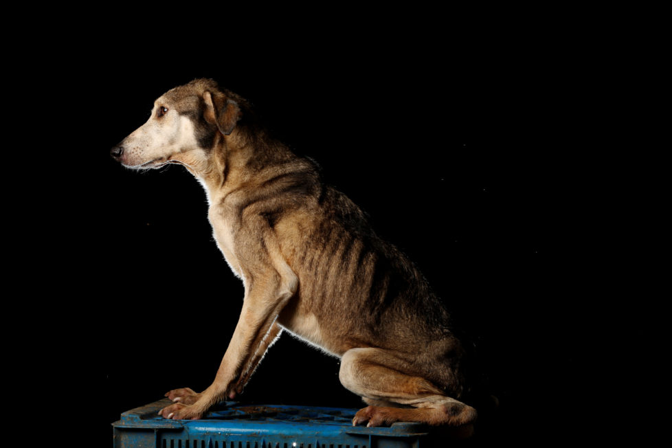 """Paton is pictured at the Famproa dogs shelter in Los Teques, Venezuela August 18, 2016. Paton (big foot), has been given that name because his legs are very long making him a little clumsy when he walks. """"Everyone who comes to the shelter, falls in love with him because he is extremely loving, always happy and wants to play. He always wants to be near people,"""" said Maria Silva who takes care of dogs at the shelter. REUTERS/Carlos Garcia Rawlins SEARCH """"DOG LIFE"""" FOR THIS STORY. SEARCH """"WIDER IMAGE"""" FOR ALL STORIES. - RTX2OI4O"""