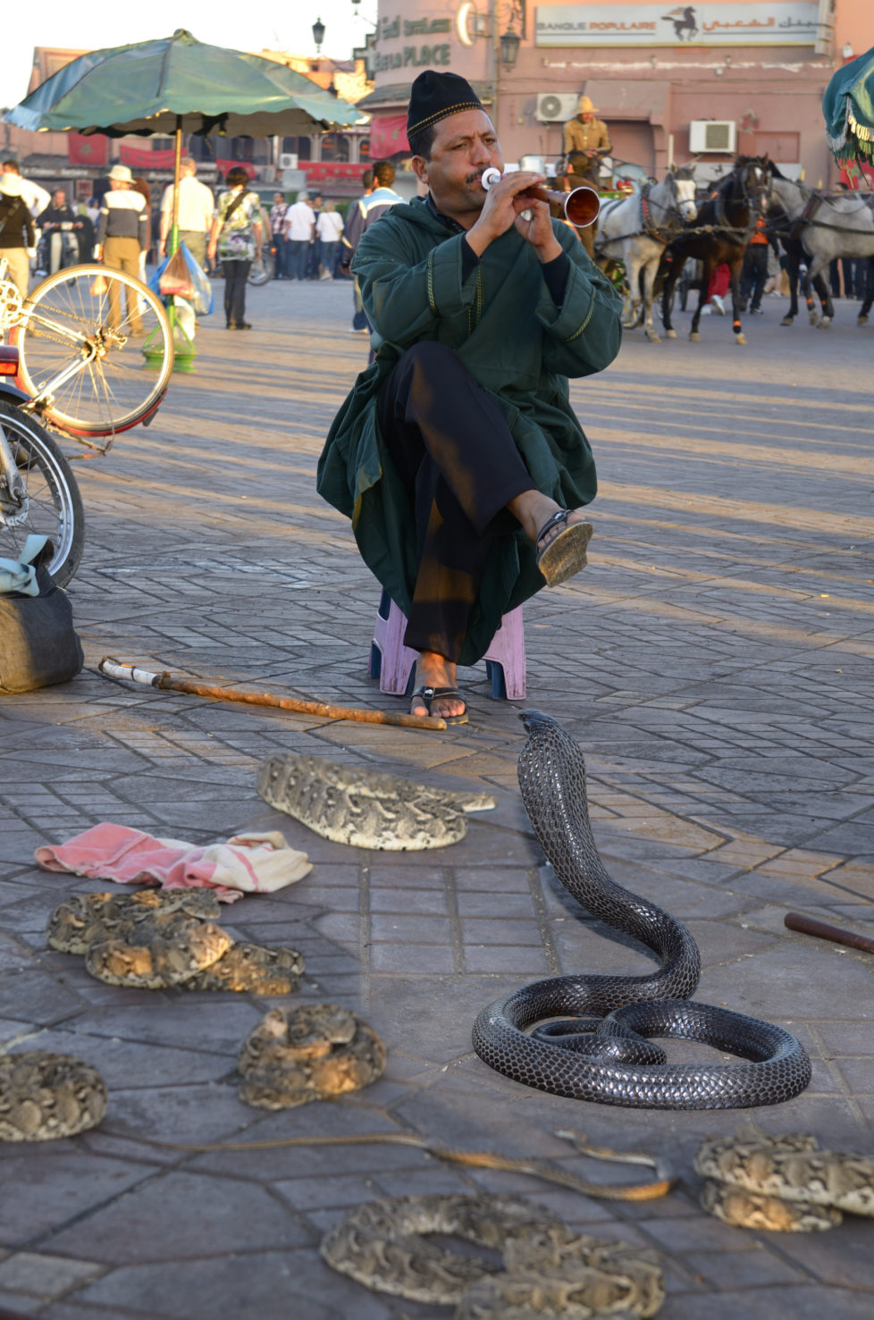 Coiled black cobra and other snakes being charmed by a flute in Place Djemaa el Fna Marrakech. (Photo by: Education Images/UIG via Getty Images)