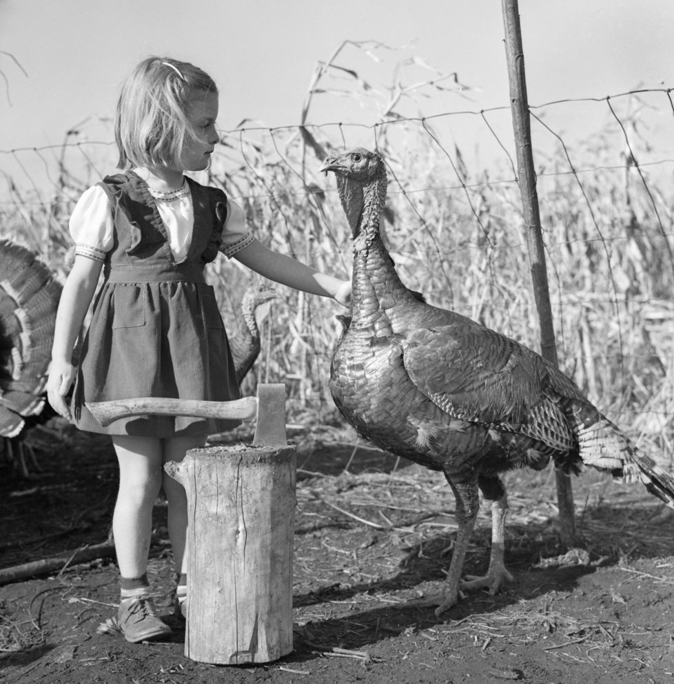 A pre-thanksgiving scene appears to show a turkey seemingly pleading for its life with a little girl who is ready to wield a hatchet. (Photo by Jonathan Kirn/Corbis via Getty Images)